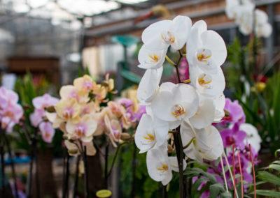 De jolies orchidées