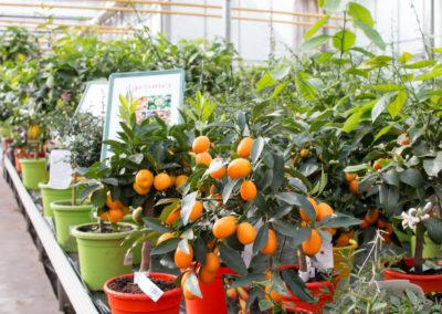 Des plantes à agrumes