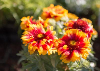 De jolies fleurs qui illumineront votre jardin