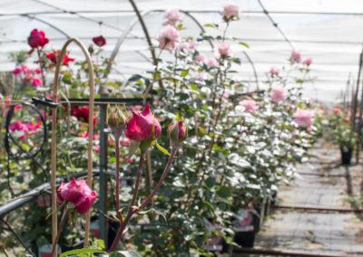De nombreuses variétés de rosiers pour colorer votre jardin