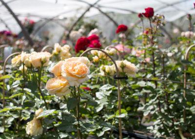 Retrouvez de magnifiques roses dans votre jardin