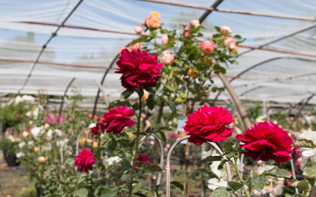 Notre sélection de rosiers