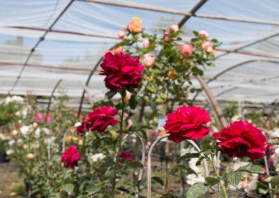 De magnifiques rosiers prêts à sublimer votre jardin