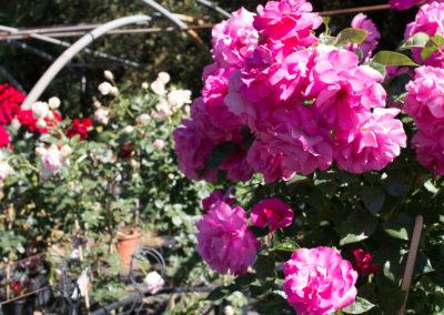De magnifiques rosiers