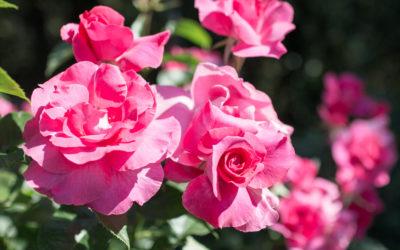 Des roses par milliers à «LA TERRE QUI CHANTE»