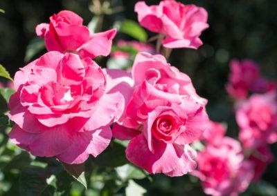 Des roses rouges, jaunes, roses, blanches...