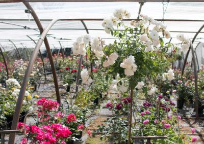 Découvrez nos différentes variétés de rosiers dans notre espace dédié