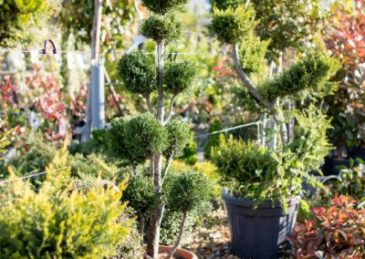 De jolies Bonzaï et autres arbustes