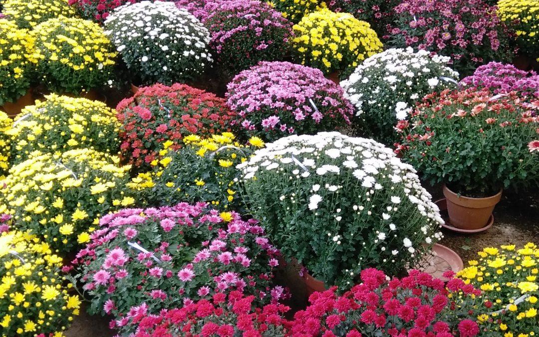 Le joli mois des chrysanthèmes